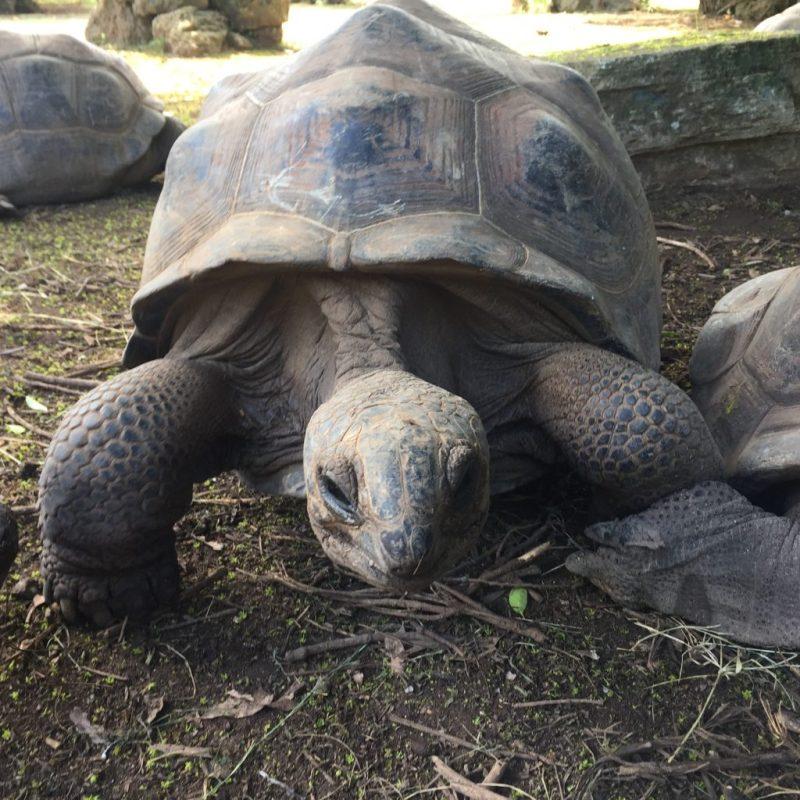 Turtle in Rodrigues.