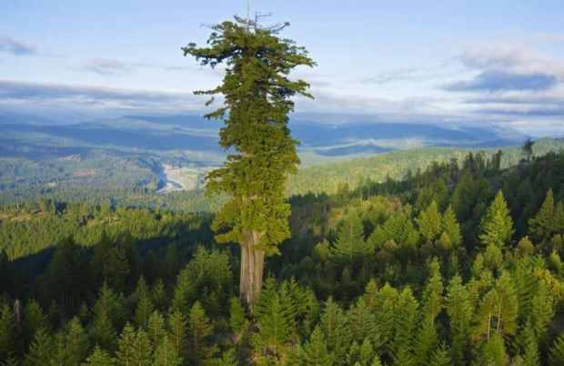 tallest tree in the world - hyperion - interesting facts FI