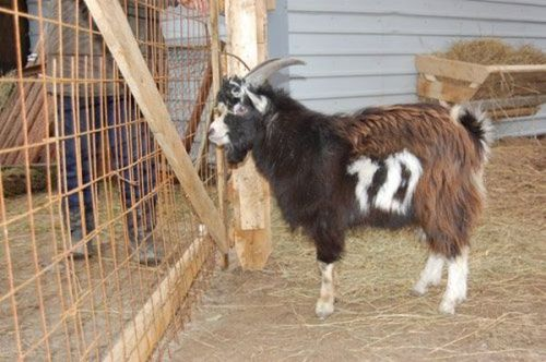 goat with the number 10 written in its fur