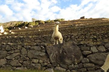 king of the llamas