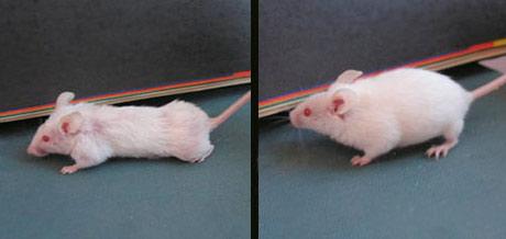 Marijos Konovalovos tirtos pelės - kairėje su GMO, dešinėje be GMO