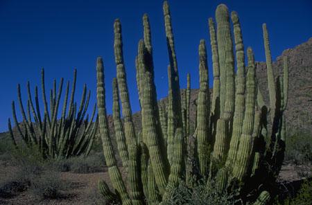 Kaktusas opuncija