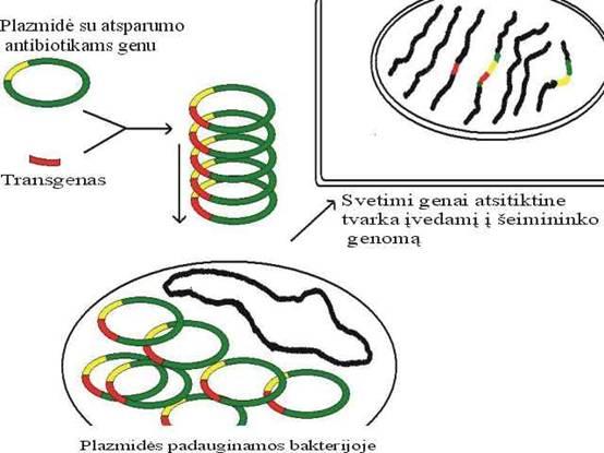 GMO gaminimo schema