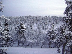 Trees in Lapland covered in snow