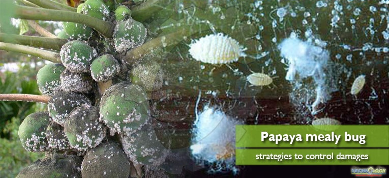 Innovative strategies to control damages of papaya mealy bug
