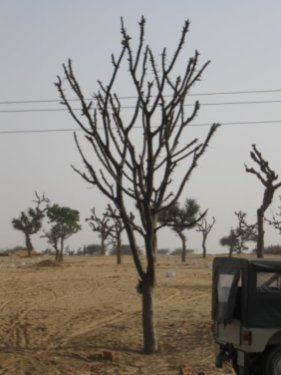 Most Common Tree in Rajasthan