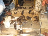 Rats in Karni Temple