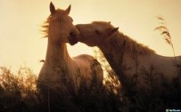 Free Download Animal Wallpaper Pack kissing horses