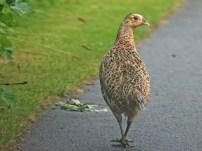 Free Download Birds Wallpaper Pack female-pheasant