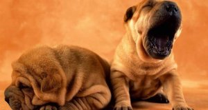 Free Download Dogs Wallpaper Pack Yawning Beast