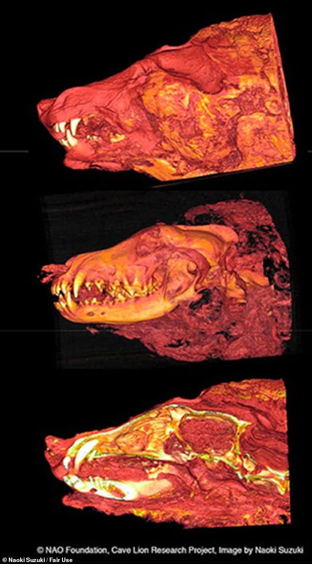 In-depth analysis: A further CT scan of the wolf's head illustrates the internal organs, including the animal's brain, remain preserved alongside tissue and arteries