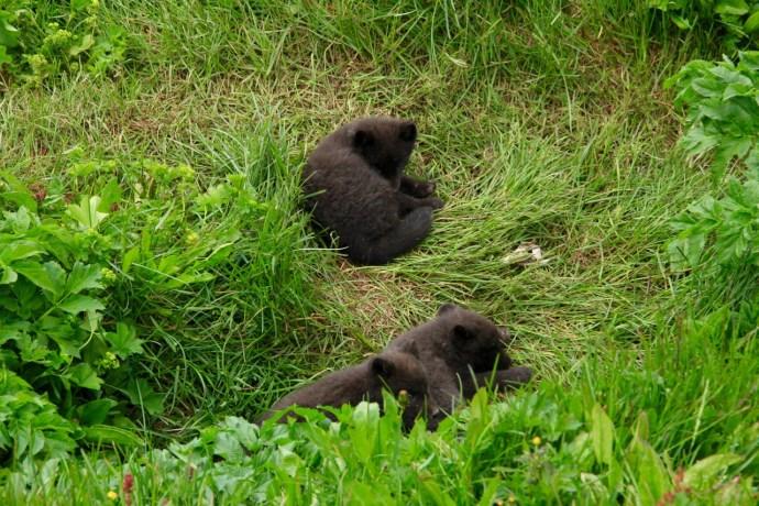 fox cubs close to their den