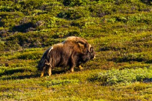 Muskox spotted from the Tecla