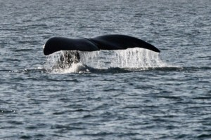 A whale fluke in north west passage