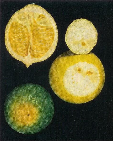 Endoxerosis en cítricos