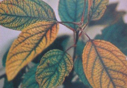 Carencia de hierro en Manzano