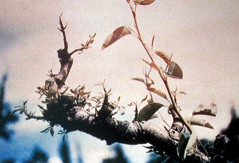 Carencia de Zinc en Manzano
