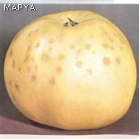 Plara Manzana