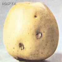Manzana con daños de granizo