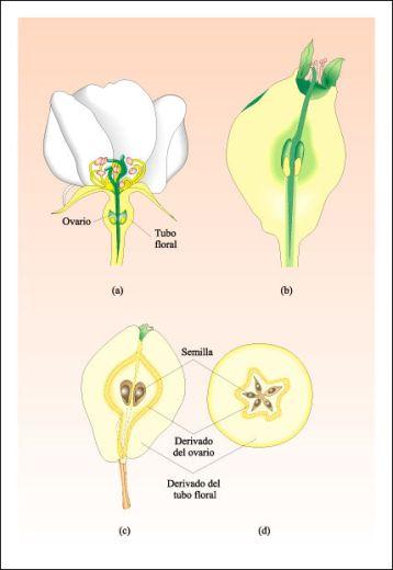 Partes de fruto en Pera
