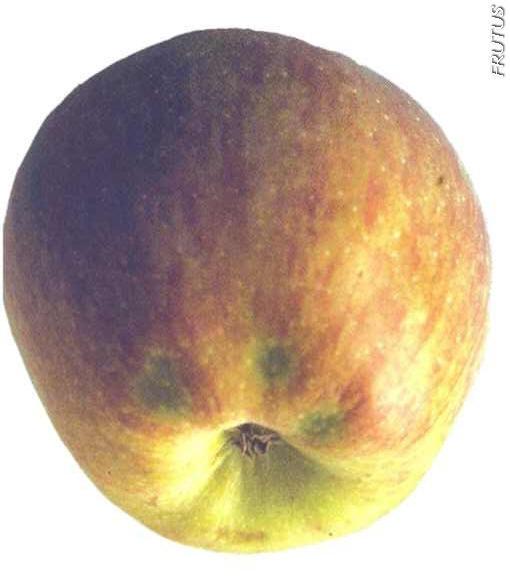 Acorchado Mazana Pera fruta de pepita
