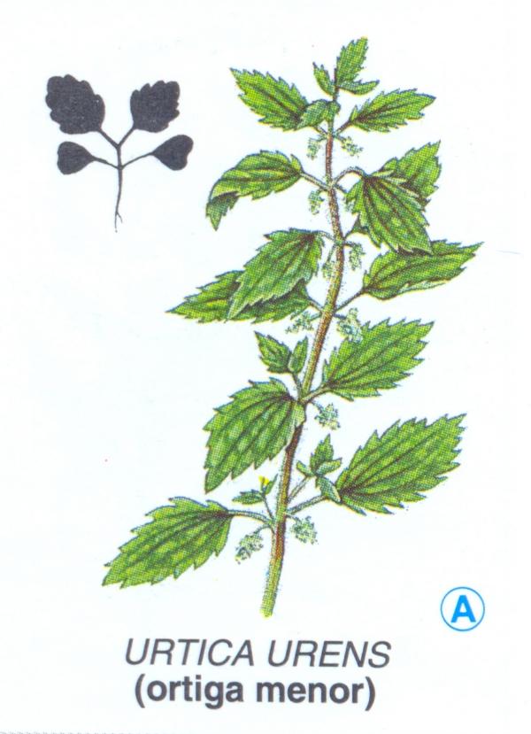 Urtica urens L