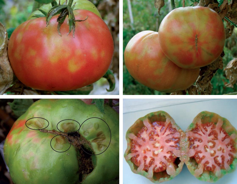 Resultado de imagen para Mosaico del Tomate