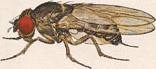 """Moscas com 6 prêmios nobel, """"moscas"""" se destacam na ciência moderna Com 6 prêmios Nobel, """"Moscas"""" se destacam na Ciência Moderna Drosophila pseudoobscura Male"""