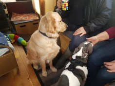 Teddy is sitting looking at Adrian who is stiing on the sofa. Jasper (white with grey patches small staffie cross), is sitting beside Teddy licking Ma's right front paw