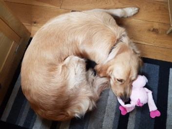 Teddy curled up on stripey rug, with his head resting on his new toy: a pink fluffy pig