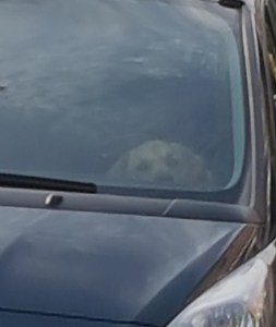 Teddy sitting in the front footwell of the car, watching through the windscreen