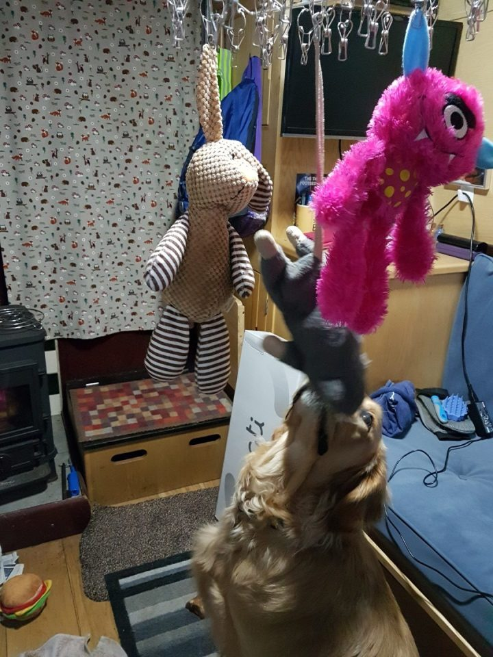 Teddy sniffing his toys, which are hanging on a silver coloured multi peg hanger, He is stretching his head upwards to inspect the atrocities!