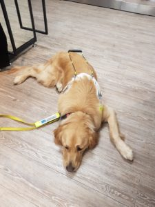 Teddy lying down, in harness, on the wooden floor in Tesco, with his yellow lead lying beside him.