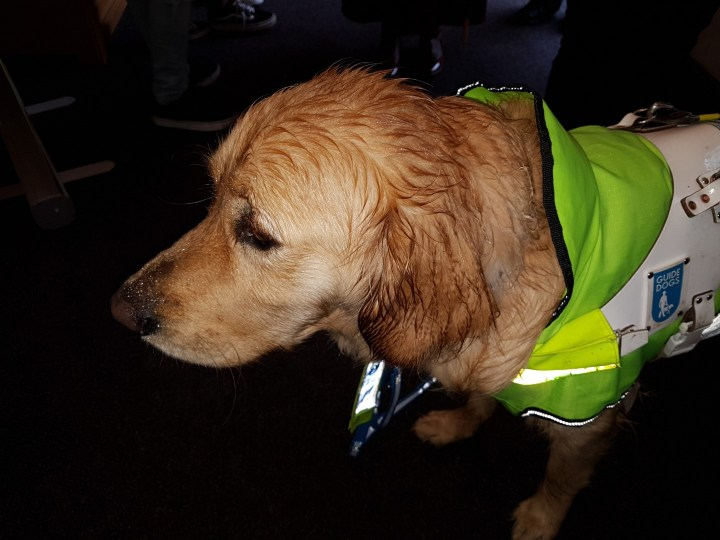 Teddy (having just arrived at church) wearing his yellow coat, with a very wet head and ears