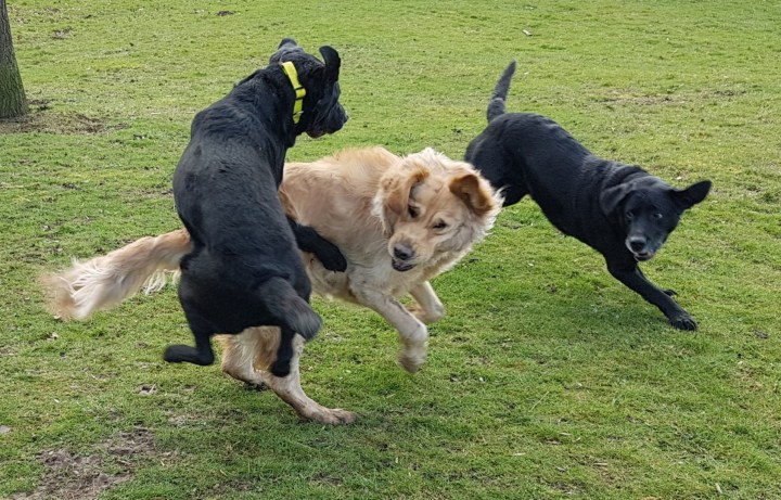 Teddy is midstride in a run, with Oakley in mid air at his side, ears flapping. Dixon is mid-bound behind them