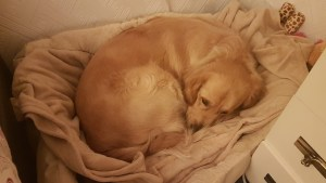 Teddy curled up in a ball snuggled in his cozy beige coloured oval plush bed with a beige fleece blanket in it