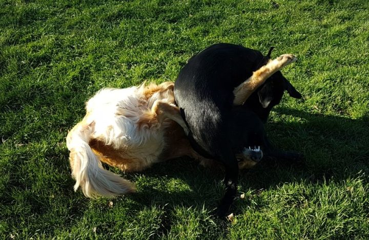 Teddy (Golden Retriever) on his back on grass with Teddy Jnr (black lab x retriever) on top of him and wrapped around his extended front paws.