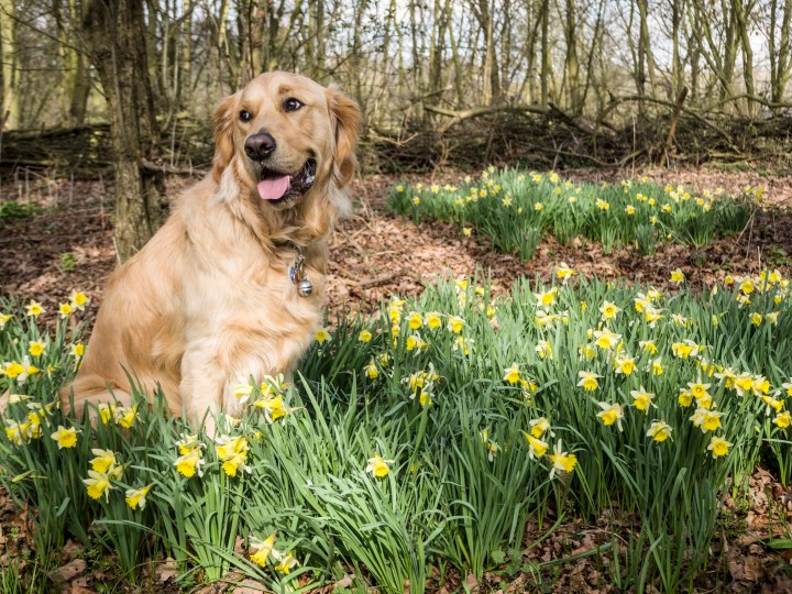 Teddy sitting in the middle of a patch of daffodils, looking slightly to the left of the shot with a smiley expression. There are lots fo trees in the background