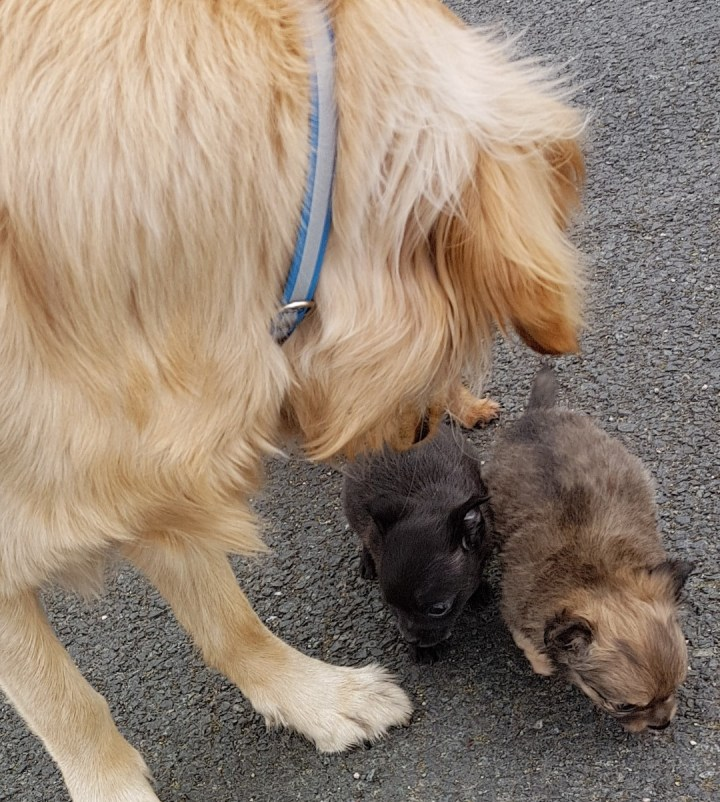 Teddy gently greeting two tiny 7 week old chihuahua puppies, one is black, the other is mid-brown flecked. They are all standing on tarmac surface