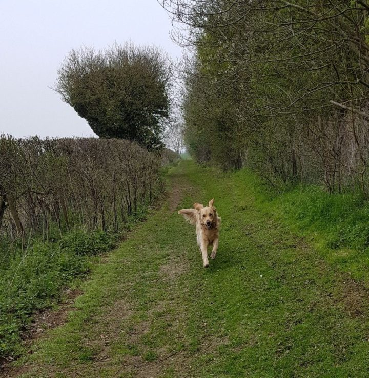 Teddy racing toward the camera, ears flapping, on a grassy path through woodland