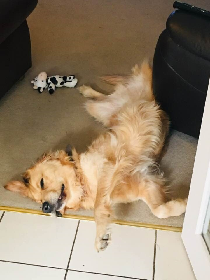 Teddy (golden retriever) lying on cream carpet, back legs wide apart, head on one side, fast asleep
