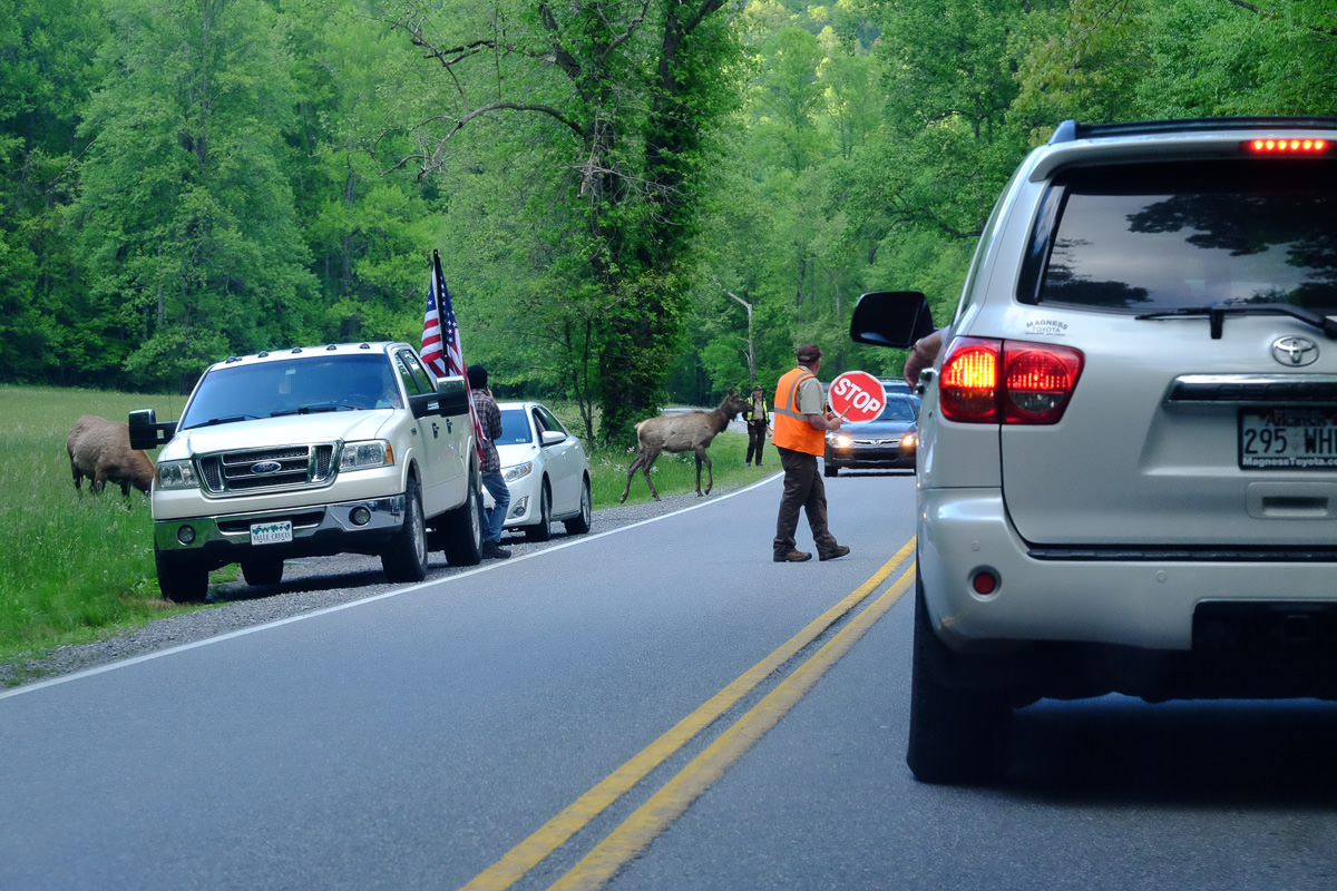 Great Smoky Mountains Elk  crossing, completely with crossing guard