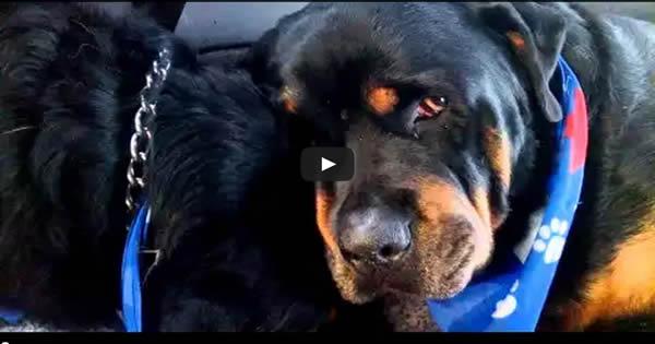 Rottweiler chora a morte do seu irmão 35