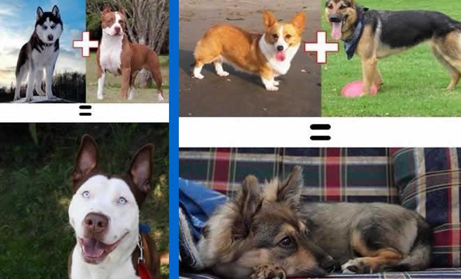 O resultado do amor de cães com raças diferentes (10 fotos) 2