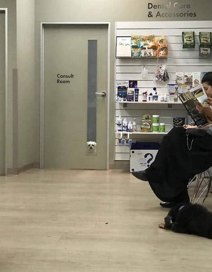 Cachorros realmente não gosta de ir ao veterinário (35 fotos) 7
