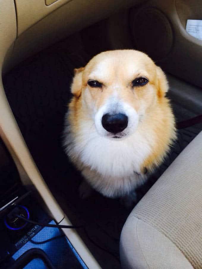Cachorros realmente não gosta de ir ao veterinário (35 fotos) 10