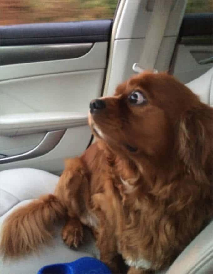 Cachorros realmente não gosta de ir ao veterinário (35 fotos) 19