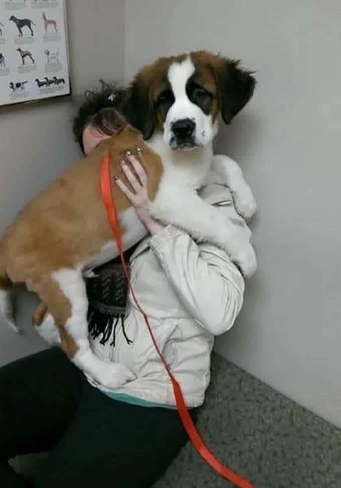 Cachorros realmente não gosta de ir ao veterinário (35 fotos) 28