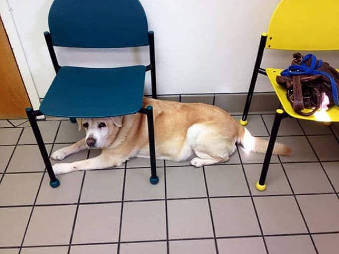 Cachorros realmente não gosta de ir ao veterinário (35 fotos) 33