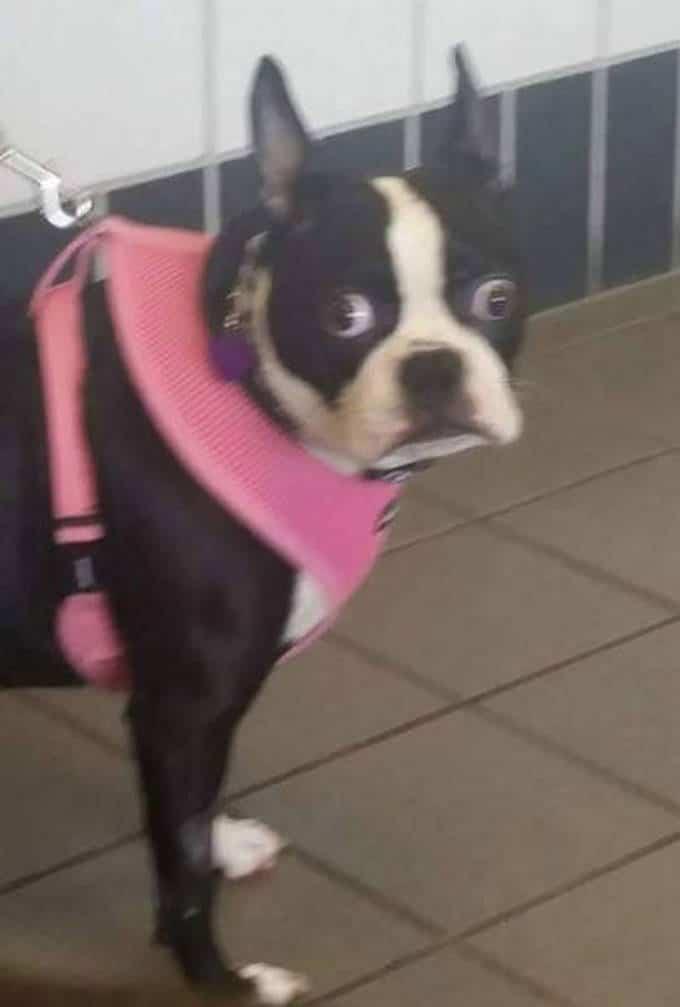 Cachorros realmente não gosta de ir ao veterinário (35 fotos) 34